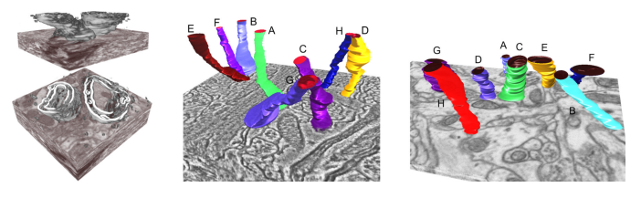 Scalable and Interactive Segmentation and Visualization of Neural Processes in EM Datasets