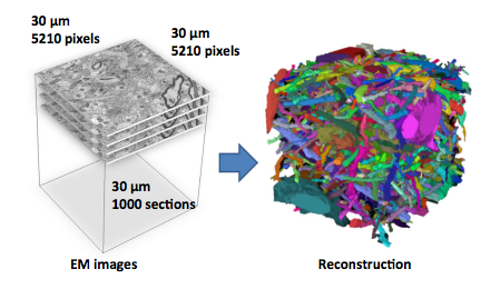 Large-Scale Automatic Reconstruction of Neuronal Processes from Electron Microscopy Images