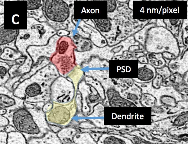 Imaging a 1 mm3 Volume of Rat Cortex Using a MultiBeam SEM