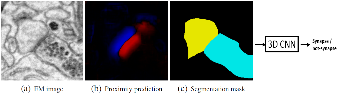 Detecting Synapse Location and Connectivity by Signed Proximity Estimation and Pruning with Deep Nets