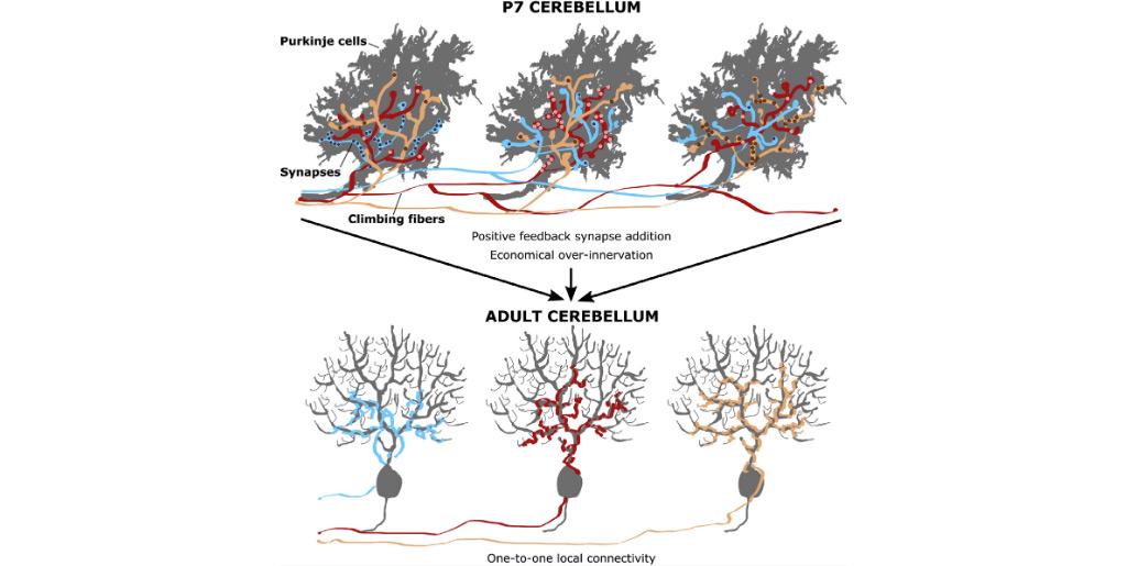 Developmental Rewiring between Cerebellar Climbing Fibers and Purkinje Cells Begins with Positive Feedback Synapse Addition