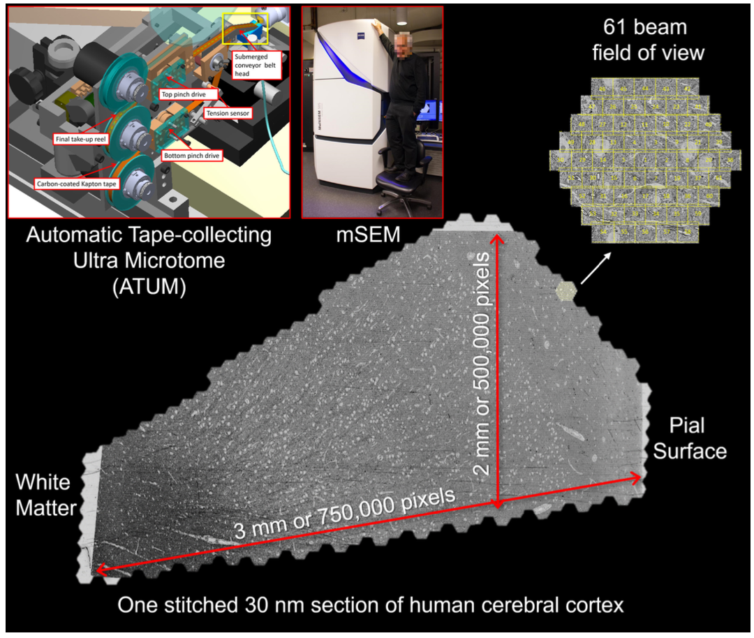 A connectomic study of a petascale fragment of human cerebral cortex